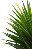 Palm Fronds. Yukka palm fronds isolated against white background stock photos