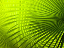 Palm Fronds. Two palm fronds creating a criss cross pattern against the light royalty free stock image