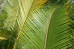 Palm fronds Stock Photography