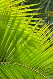 Palm fronds. Palm frond closeup ideal for a jungle theme or background Royalty Free Stock Photography