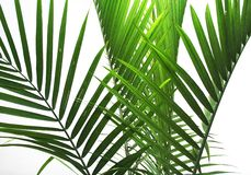 Palm Fronds. On white background Stock Photography