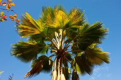 Palm fronds against a tropical sky in the caribbean. Coconut tree branches on a tall tree as seen on bequia in the windward islands royalty free stock photo