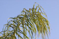 Palm fronds blue sky Stock Photography