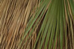 Palm Fronds from a California Fan Palm. Palm fronds on a California Fan Palm on the Palm Canyon Trail in Palm Springs, California royalty free stock images
