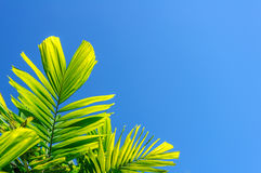 Palm fronds with clear blue sky background Stock Image