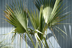 Palm fronds in front plank wall Royalty Free Stock Image
