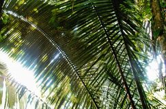 Palm fronds in the sunlight. Large green palm fronds with sunlight shining through them, taken somewhere in Belize royalty free stock photos