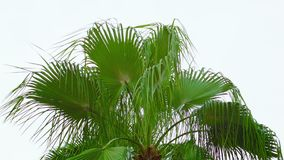 Palm fronds sway the wind against the sky stock video footage