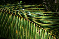 Palm fronds texture Stock Photos