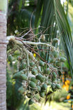 Palm fruit Royalty Free Stock Photography