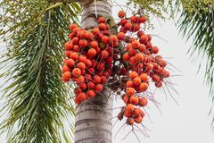 Palm fruit -ornamental decoration plant in gardens, Cyrtostachys renda Sealing wax palm. Lipstick Raja palm stock photography