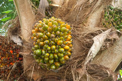 palm fruit on plant Royalty Free Stock Image