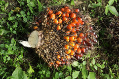 Palm Fruit Plat Seed Cluster Royalty Free Stock Photography
