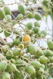 Palm fruit Stock Photography