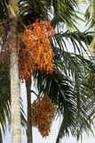 Palm fruit on the tree and leaf , tropical fruit Stock Photography