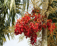 Palm fruit on the tree and leaf , tropical fruit Stock Images