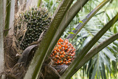 Palm fruit on the tree Stock Image