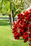 Palm Fruits 1. Palm fruits at christmas time in the caribbean (St. Kitts & Nevis Royalty Free Stock Photography