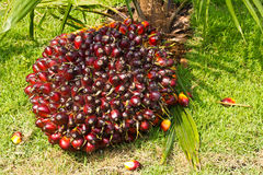 Palm fruits stock image