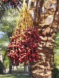 Palm with fruits Royalty Free Stock Image