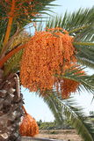 Palm with fruits. A lot of fruits on this palm which is growing at the Mediterranean area, Spain Royalty Free Stock Image