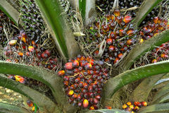 Palm fruits. Palm oil seed.Palm Oil Fruits Stock Photo