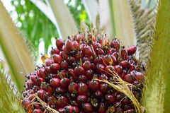 Palm fruits. Oil Palm fruits in Thailand Stock Images