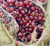 Palm fruits. Oil Palm fruits in Thailand Royalty Free Stock Photo