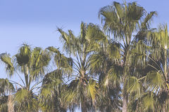 Palm fruits on the tree Royalty Free Stock Photo