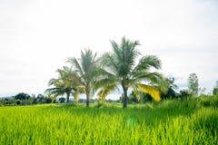 Palm full of coconuts on field. S. Green nature, rainy season Stock Photos