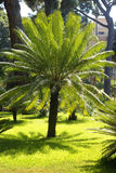 Palm in garden Royalty Free Stock Photos