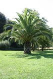 Palm in the Garden. Beautiful Palm in a Garden in Rome stock photo