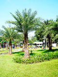 Palm garden. Oil palm plants are monocots and long lifespan and can live to 80 - 100 years Stock Photography