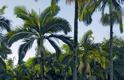 Palm garden beautifying the landscape. RIO CLARO, SP, BRAZIL - JULY 9, 2016 - Palm tree, generic term for family tree Arecaceae, from which are part the coconut Stock Photos