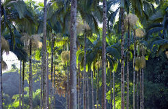 Palm garden beautifying the landscape. RIO CLARO, SP, BRAZIL - JULY 9, 2016 - Palm tree, generic term for family tree Arecaceae, from which are part the coconut Royalty Free Stock Image