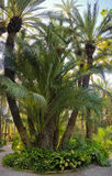 Palm garden Elche Spain Royalty Free Stock Images