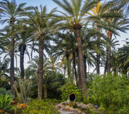 Palm garden Elche Spain Royalty Free Stock Photography