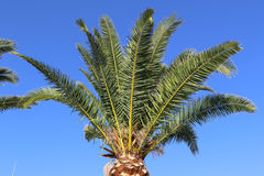 Palm. Green palm in Spain on a blue background Royalty Free Stock Photography