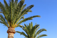 Palm. Green palm in Spain on a blue background Royalty Free Stock Image