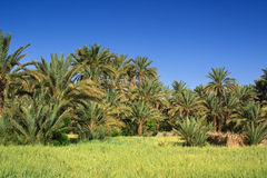 Palm grove Royalty Free Stock Photo