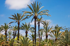 A palm grove. On a background of a blue cloudy sky. Elche is a city of palm trees. Spain. Sunny summer Stock Photo