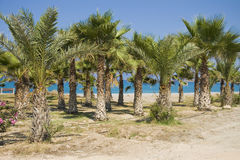 Palm grove on Cyprus Royalty Free Stock Photography