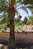 Palm Grove of Elche Valencian Stock Photos
