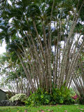 Palm grove in Hawaii Royalty Free Stock Photo