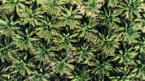Palm grove from a height of 40 meters. Top view. Aerial. Thailand stock video