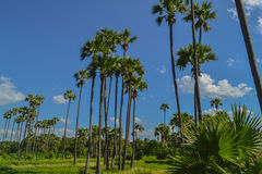 Palm grove. Inwa (Ava), neighborhood of Mandalay, Burma / Myanmar Royalty Free Stock Image