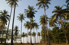 Palm grove. On ko tarutao island in thailand Royalty Free Stock Photo