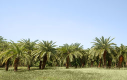 Palm grove Stock Image