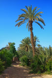 Palm grove in Morocco Royalty Free Stock Images