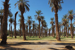 Palm grove in the oasis Furnace Creek Royalty Free Stock Photos